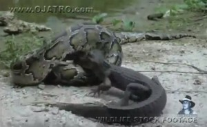 Anaconda Snake and Croc in a Wrestling Match: Who Swallowed Who?