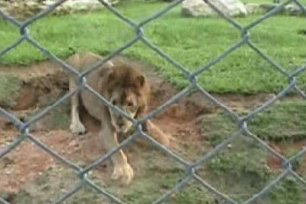 Lion Caged For 13 Years Feels Grass For The First Time. Watch How He Reacts!