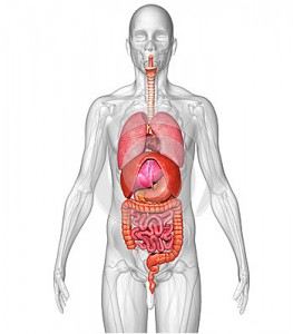 7 Organs in the Human Body That You Don't Really Need