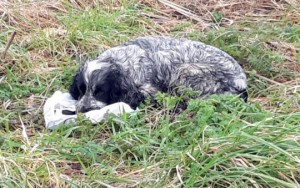 Spaniel Mom Found On the Road 'Crying' Over A Bag of Her Dead Puppies